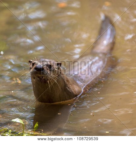 European Otter In Water