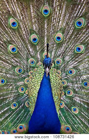 Blue peacock displaying colorful tail