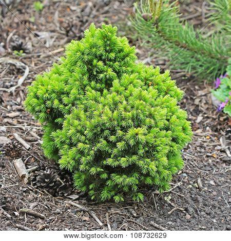 Ornamental dwarf spruce (Picea glauca)