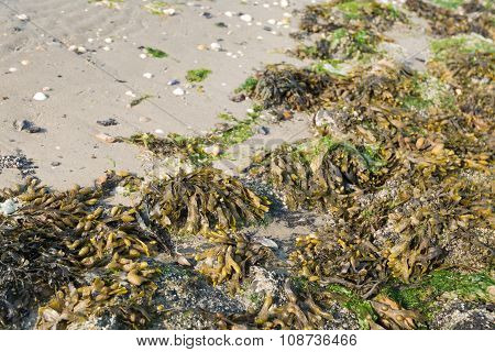 Closeup of different kinds of seaweed washed up on the Dutch North Sea beach. poster