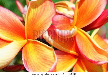 Frangipani Petals