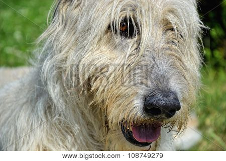 Portrait of beautiful Irish Wolfhound dog