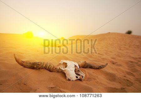 Animal skull in the desert