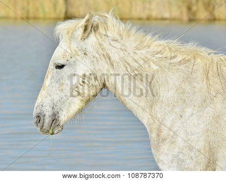 Portrait Of The White Camargue Horses