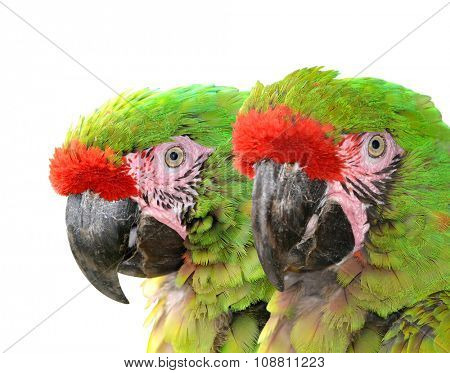 Military macaw (Ara militaris mexicana)  isolated on white background