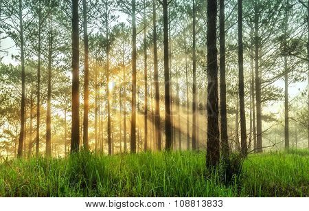 Ray of sunshine in a pine forest in Da Lat
