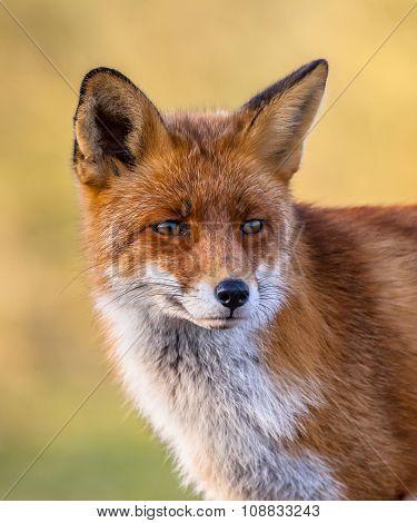 Red Fox Full Portrait