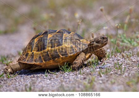 Firmly walking Spur-thighed tortoise or Greek tortoise (Testudo graeca) on gravel and vegetation. This is one of five species of Mediterranean tortoise placed in the genus testudo poster