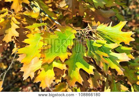 Autumn time in October. Quercus palustris, the pin oak or swamp Spanish oak.
