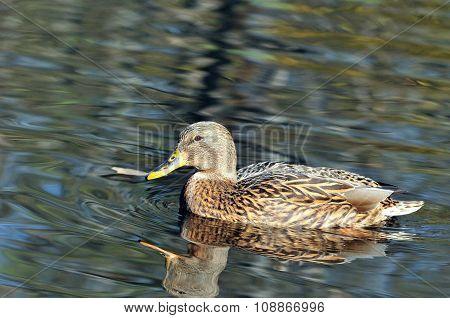 Mallard, duck.