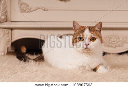Scottish straight cat at home