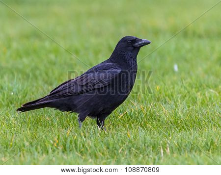 Black Crow On Green Background