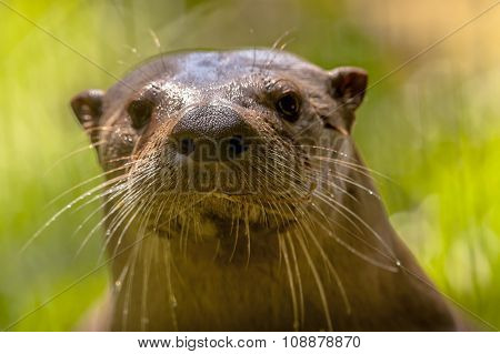 Nose And Whiskers Of A European Otter