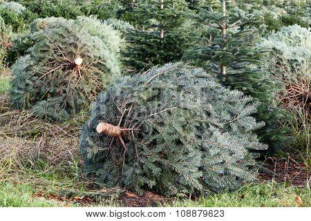 Nordmann fir plantation during the cutting season in Denmark poster