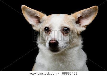 Metis dog over black background