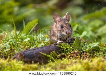 Wood Mouse Peeking