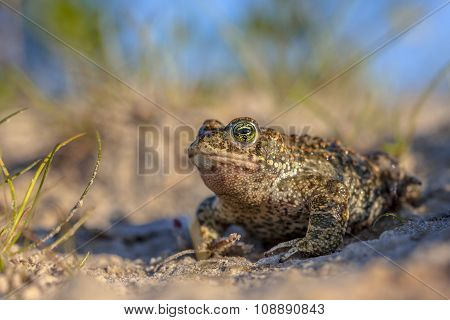 Natterjack Toad In Sandy Habitat
