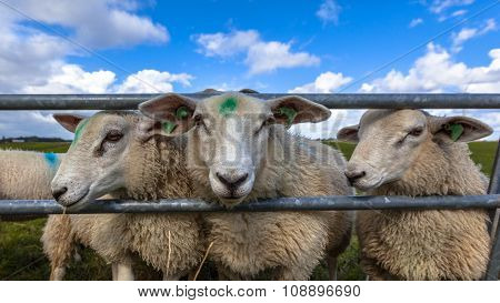 Texel Sheep Heads
