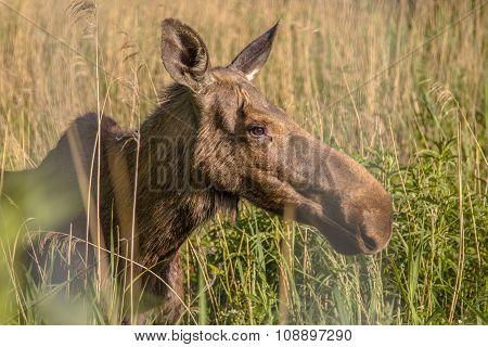 Head Of A Female Moose
