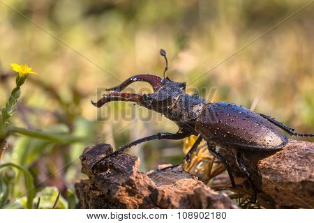 Stag Beetle Outdoor