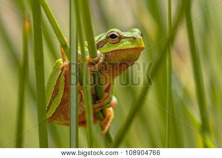 European Tree Frog Peeking From Behind Rush