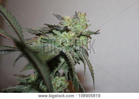 Flowering Medical Marijuana Bud