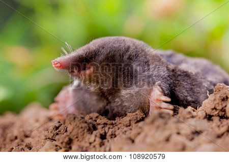 Mole (talpa Europaea) In Natural Environment