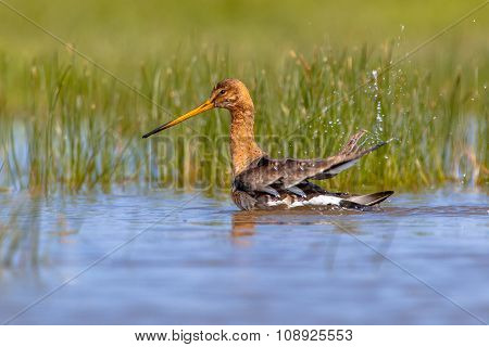Washing Black Tailed Godwit