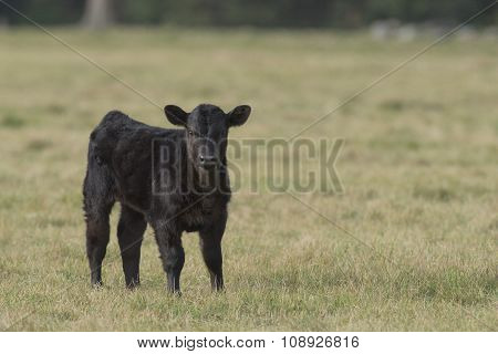 A young Black Angus calf