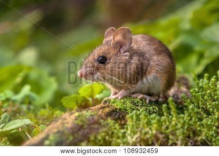 Wood Mouse In Natural Habitat