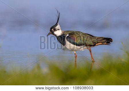 Male European Northern Lapwing