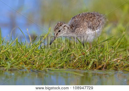 Black Tailed Godwit Chick