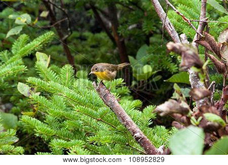 Yellow Breated Chat Left
