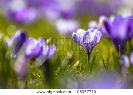 Crocusses Blooming In First Light In March