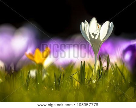 Crocusses Blooming In First Sunlight In March