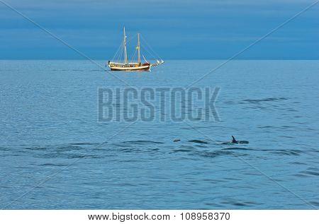 Dolphins at north atlantic waters near polar circle, Iceland