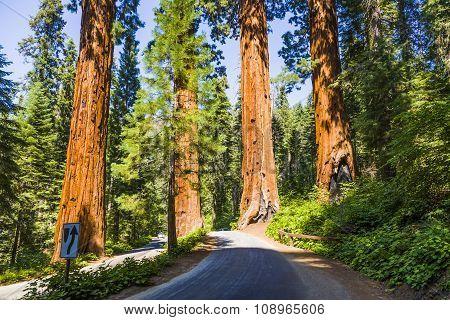 big sequoia trees