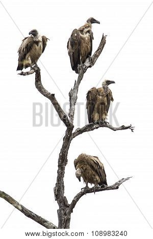 Cape Vulture In Kruger National Park