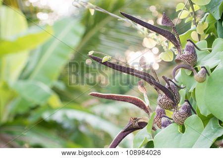 Aristolochia Ringens Vahl
