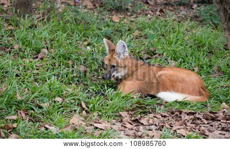 maned wolf ( chrysocyon brachyurus ) resting on grass poster