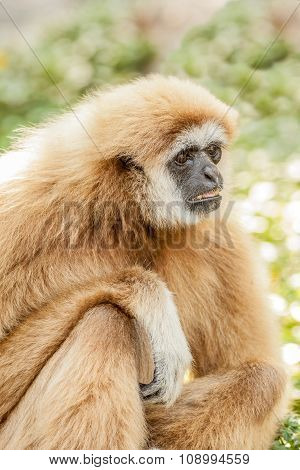 a Northern white cheeked gibbon sit on a branch of a tree poster