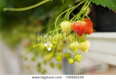 Ripening Strawberries From Close