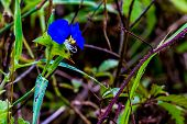 A Beautiful Blue Erect Dayflower (Commelina erecta) Wildflower Growing Wild in the Wild Texas Prairie. poster