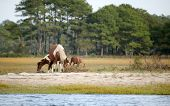 small group of wild assateague ponies on the coast poster