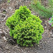 Ornamental dwarf spruce (Picea glauca). A small pine tree near her house poster
