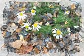 beautiful autumn background with forest foliage daisies and rain drops poster