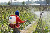Spraying pesticide in melon farm of Thailand. poster
