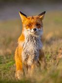 A full resolution portrait of a posing red fox (Vulpes vulpes) in natural environment. The beautiful wild animal of the wilderness. Shred looking in the camera. Eye to eye with a dodgy vulpine. One of the most grace wood inhabitant poster