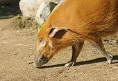The Red River Hog or Bush Pig (Potamochoerus porcus) poster