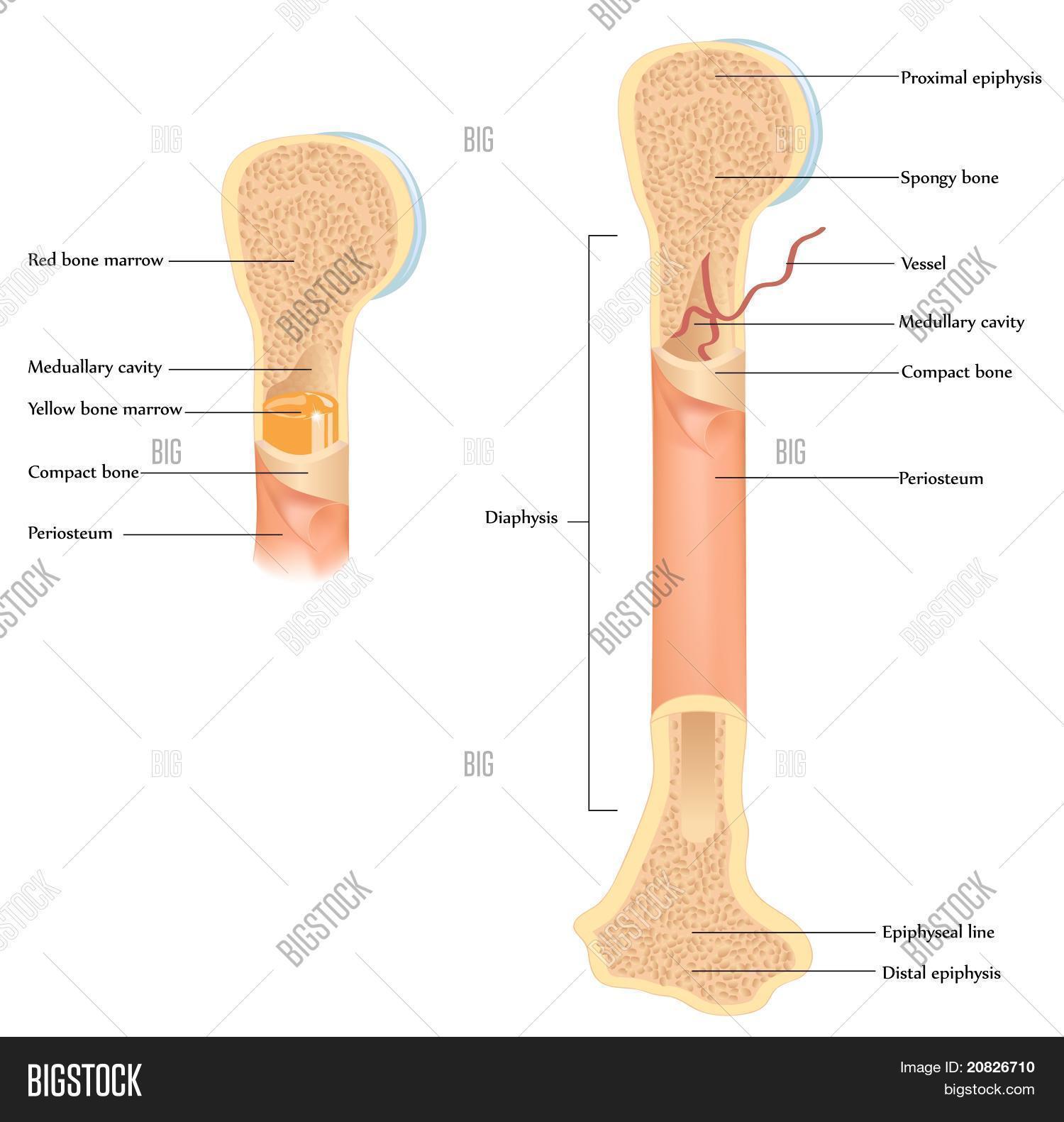 Vector y foto Anatomí De Hueso (prueba gratis) | Bigstock